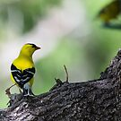 Goldfinch Poseur by Ken McElroy