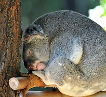 Koala At The Australia Zoo. Beerwah, Queensland, Australia. by Ralph de Zilva
