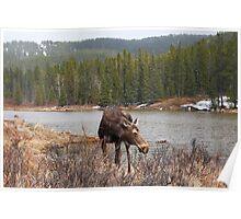 Grazing moose (Alces alces) II Poster