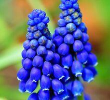 Grape Hyacinth by Nancy Barrett