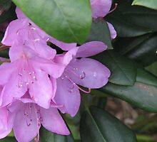 Rhododendron-Catawaba by JeffeeArt4u