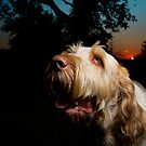 Orange & White Italian Spinone Dog Head Shot by heidiannemorris