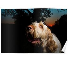 Orange & White Italian Spinone Dog Head Shot Poster