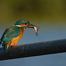 European Kingfisher by Jon Lees