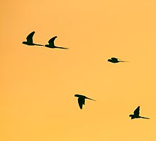 Parakeets Flying Home to Roost by InterestingImag