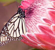 Butterfly Beauty. by Steve Chapple