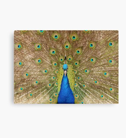 Peacock Displaying Feathers (head on) Canvas Print