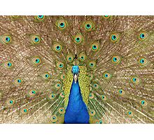 Peacock Displaying Feathers (head on) Photographic Print
