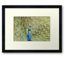 Peacock Displaying Feathers (side on) Framed Print