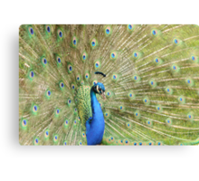 Peacock Displaying Feathers (side on) Canvas Print