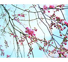 Japanese Blossom Photographic Print