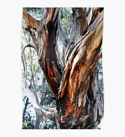 Australian Gum Tree Poster
