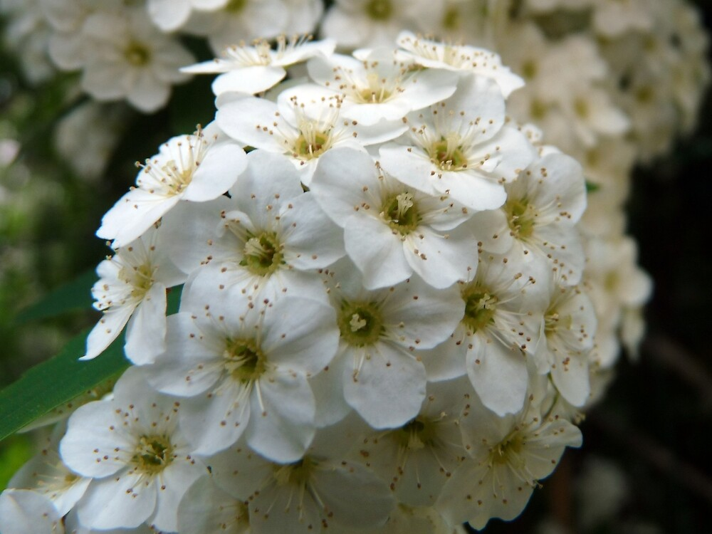 A study in white: blooming hawthorn (April 2010) by presbi