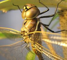 Dragon-fly Macro. by Petehamilton