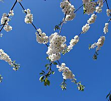 Criss-Cross Tree Blossoms by BlueMoonRose