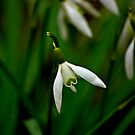 Snowdrop  (Early Spring) by Trevor Kersley