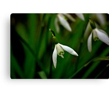 Snowdrop  (Early Spring) Canvas Print
