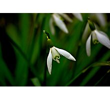 Snowdrop  (Early Spring) Photographic Print