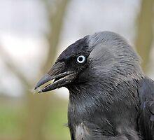 Jackdaw - Corvus monedula  by Lindamell