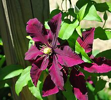 Beautiful Purple Clematis by R.E Smith