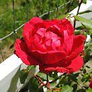 Red Beauty by NancyC