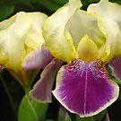Beautiful iris pair by Maria1606