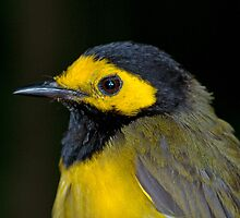Male Hooded Warbler by Bonnie T.  Barry