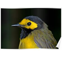 Male Hooded Warbler Poster
