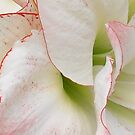 flower close up (white & peach) by RoseMae