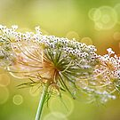 Bokeh Queen Anne's Lace by Darlene Lankford Honeycutt