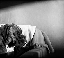 Boxer Dog by boxerportraits