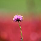 Pink Puff by Darlene Lankford Honeycutt