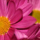 Pink Daisy by Derek McMorrine