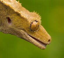 Crested gecko in the rain by Angi Wallace