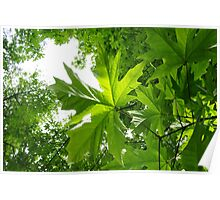 Maple Canopy Poster