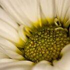 White Chrysanthemum by David Wheeldon