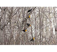 All Blackbirds Photographic Print