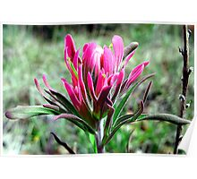 Indian Paintbrush in Pink Poster