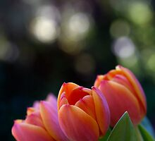 Tulips by Sharon Bree