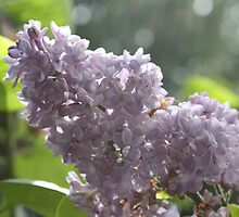 Lovely Lilacs by Kelley Shannon