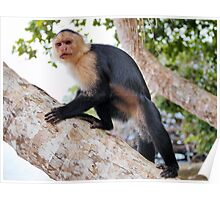 White-faced capuchin monkey Poster