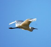 Egret flying by loiteke