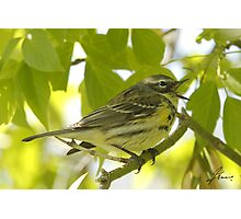 The Magnolia Warbler Photographic Print