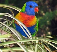 Rainbow Lorikeet by Michael Vickery