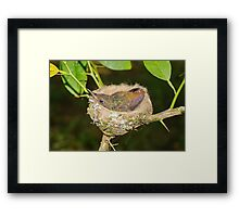 Young hummingbird in nest Framed Print