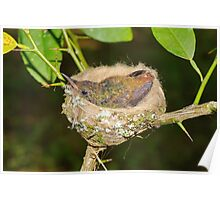 Young hummingbird in nest Poster