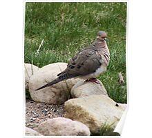 spring dove Poster