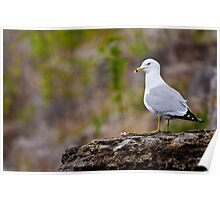 Ring Billed Gull on Rock - Ottawa, Ontario Poster