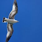Lake Mead Gull by Tammy Espino