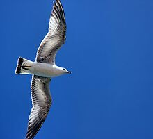 Lake Mead Gull by Tammy  (Robison)Espino